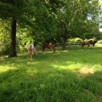 summer pasture1